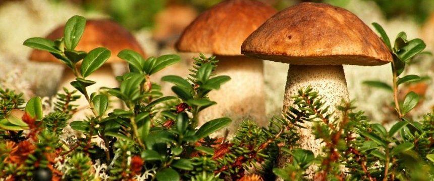 23-кратное превышение нормы по радионуклидам зафиксировано в грибах Гомельской обл.